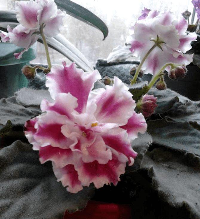 цветочек морозная вишня фиалка