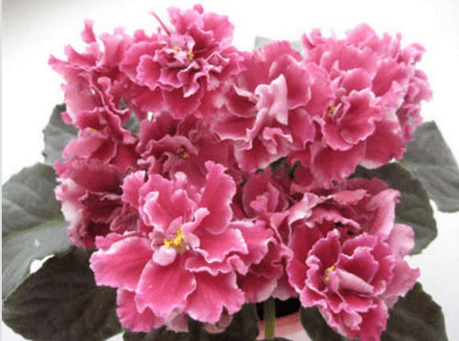 цветы сенполии морозная вишня