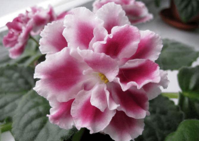 распустившийся цветок морозной вишни