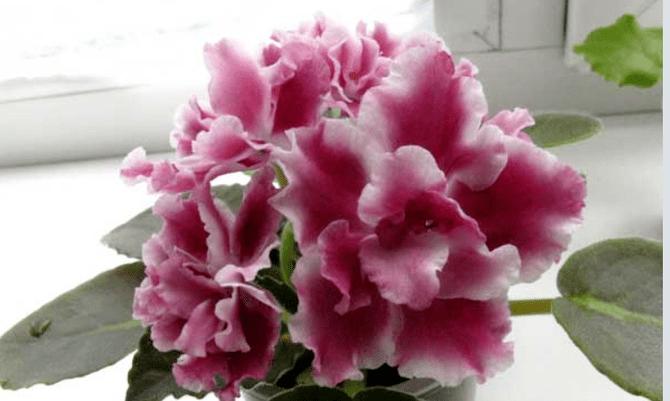 цветок фиалки морозная вишня