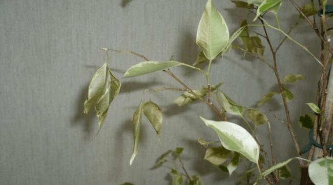 Старение и сброс листьев фикуса бенджамина