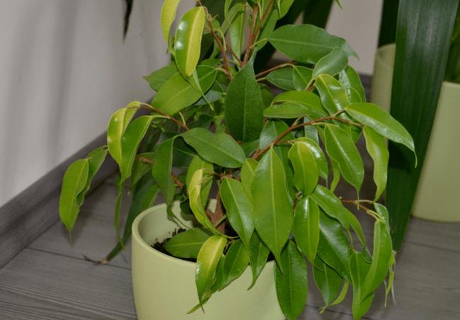 неправильный полив фикуса и листья у фикуса бенджамина