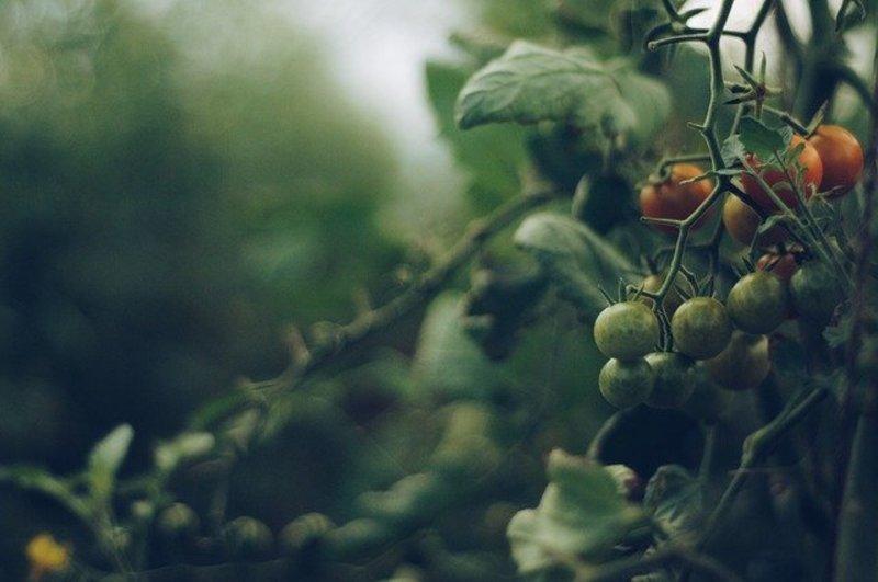 Фото куста помидоров