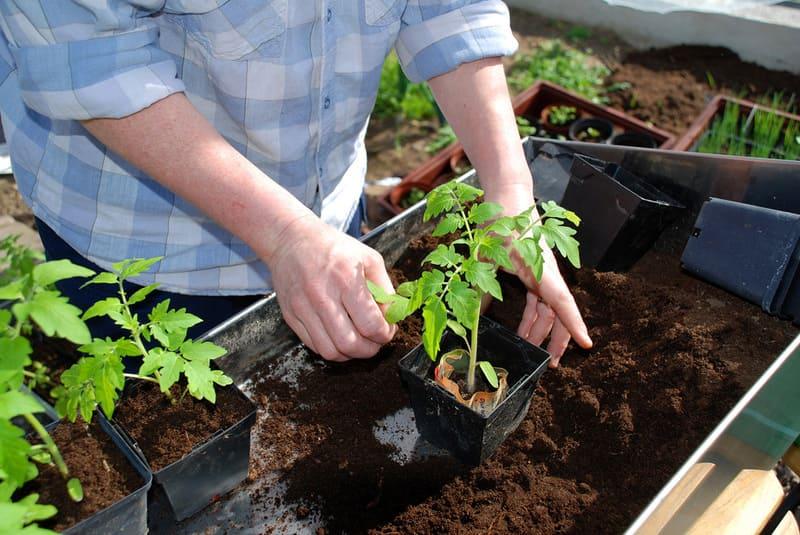 Фото пересадки помидоров в открытый грунт