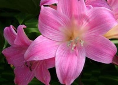 красивый цветок амариллиса