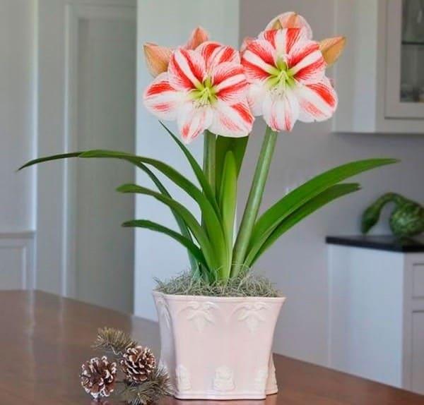 Уход во время цветения амариллиса