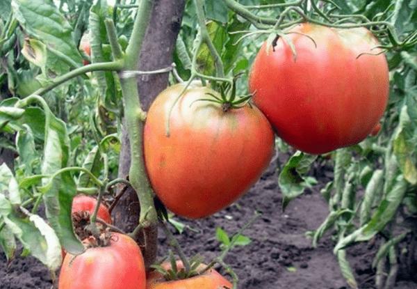 Сорт томатов Король Лондона