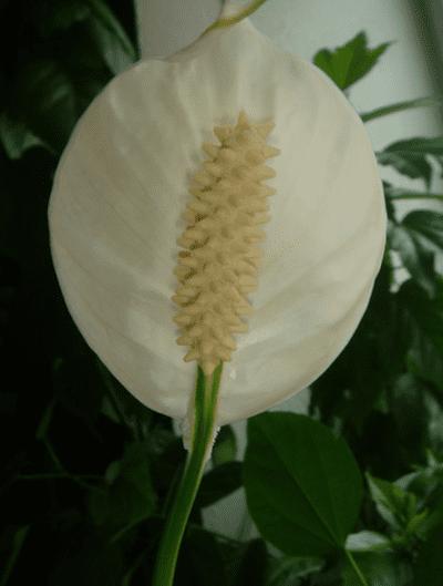 Цветочек женского счастья