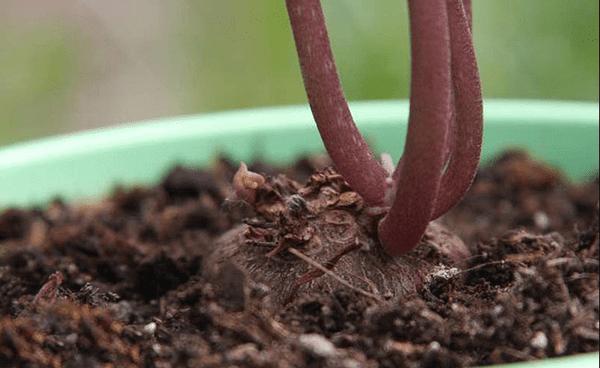 Как растет цикламен