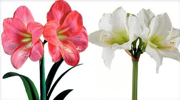 Цветки амариллиса и гиппераструма