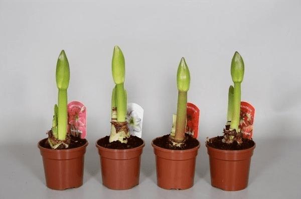 Как отрастают гиппеаструмы