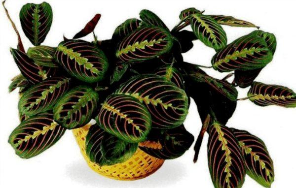 Красивая листва маранты