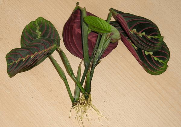 Размножение цветков маранты