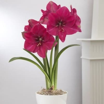 цветочек амариллис