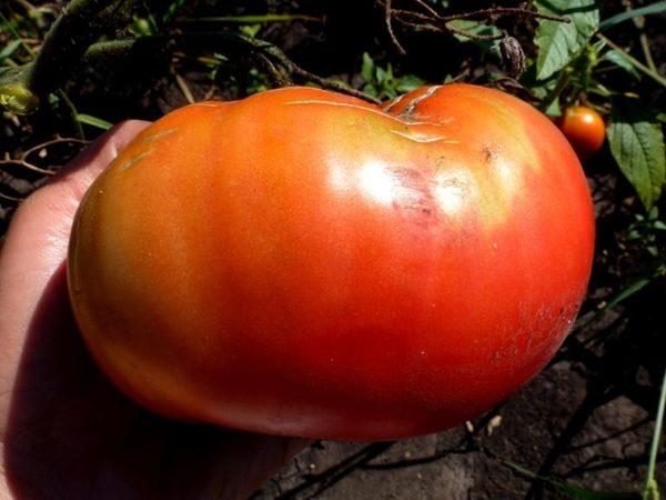 Как выглядит сорт помидор Король Королей