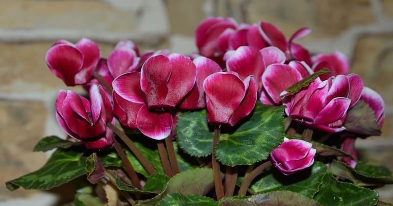 Особенности цветения цикламена