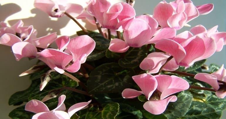 Розовые цикламены уход