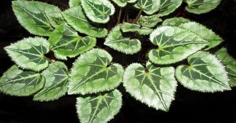 листва цикламенов