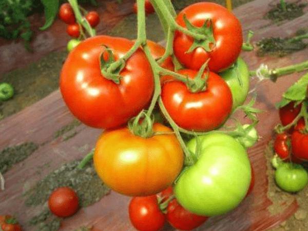Посадка помидор красным красно