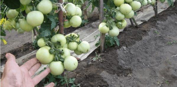 Зеленые помидоры красным красно