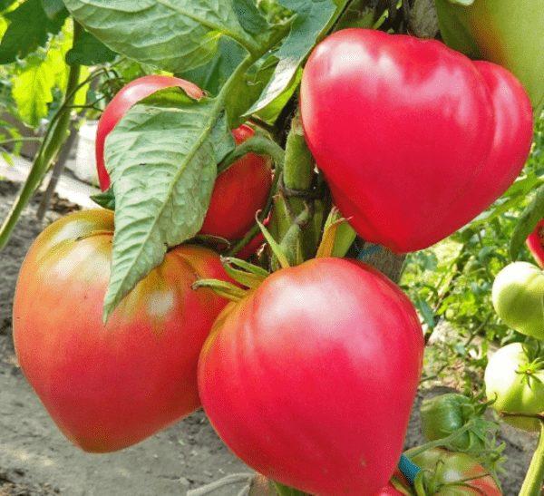 Абаканский розовый томат