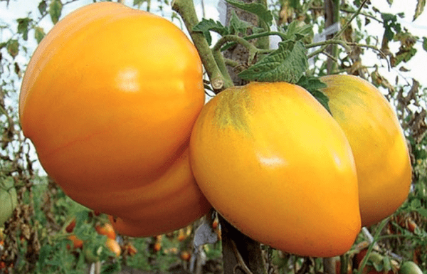 томат король сибири