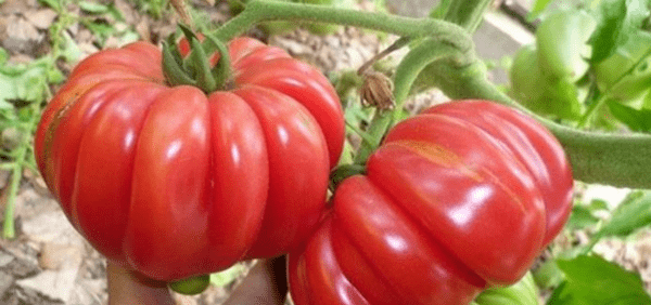 Японский краб сорт томатов