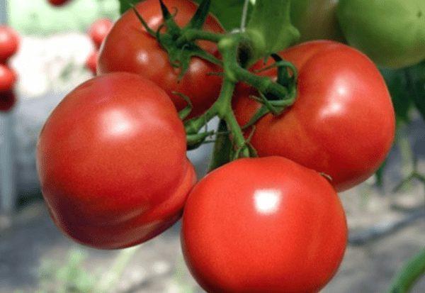 томаты марфа