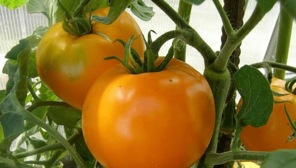 томаты оранжевое чудо