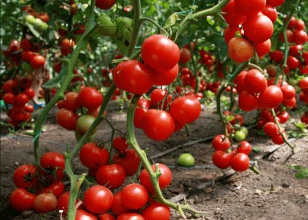Спрут помидоры
