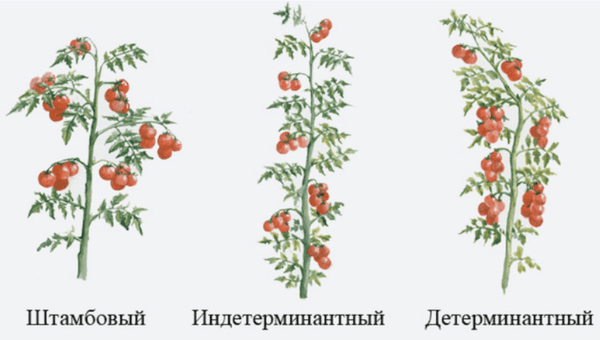 различия индетерминантных и детерминантных томатов