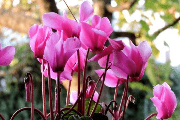 Цветочки цикламена