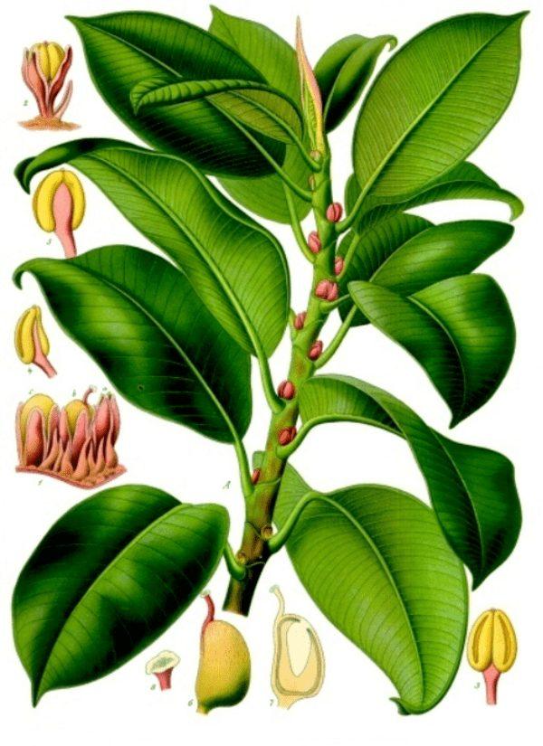 ботаническое строение фикуса каучуконосного