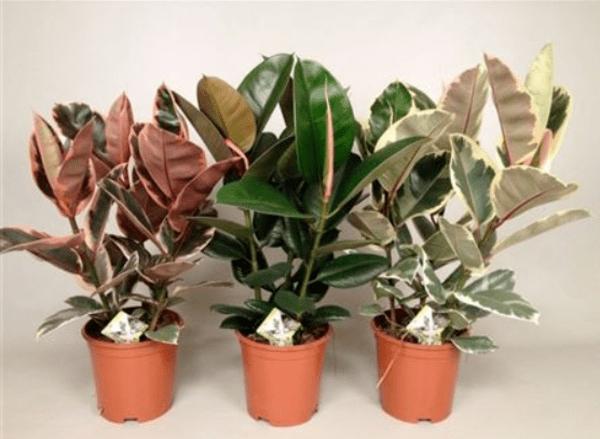 Выращивание фикусов каучуконосных