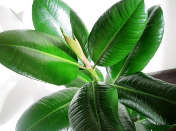Красивая ветвь фикуса каучуконосного