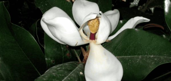 Как цветет каучуконос