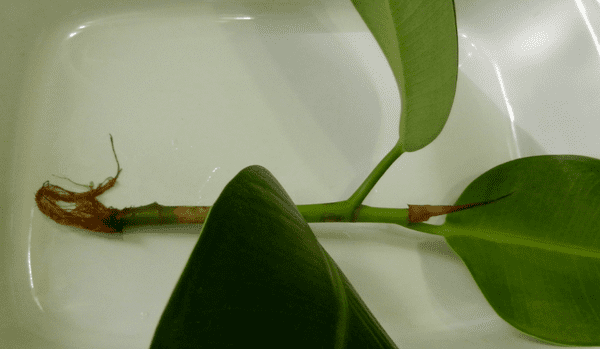 Отросток фикуса каучуконосного