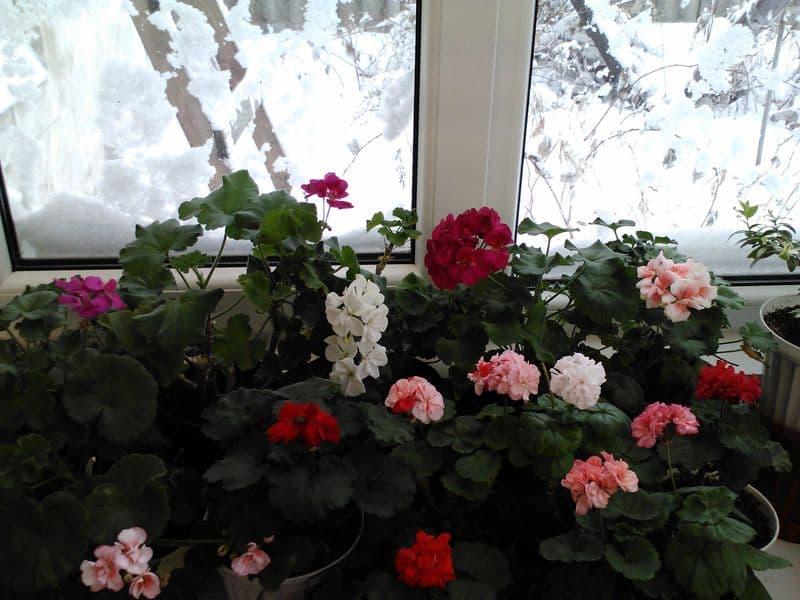 Фото герани зимой