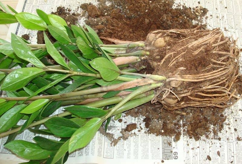 Фото корневой системы замиокулькаса