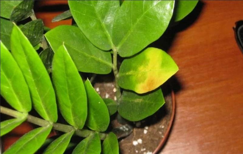 Фото замиокулькаса с пожелтевшей листвой