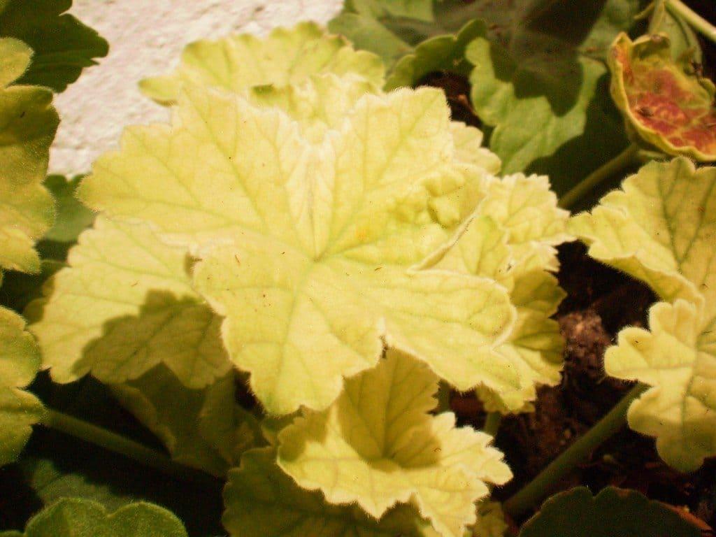 Фото желтых листьев герани