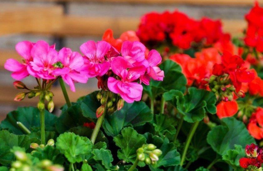 Фото соцветий герани