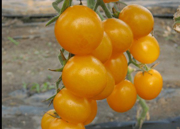 стар голд помидоры