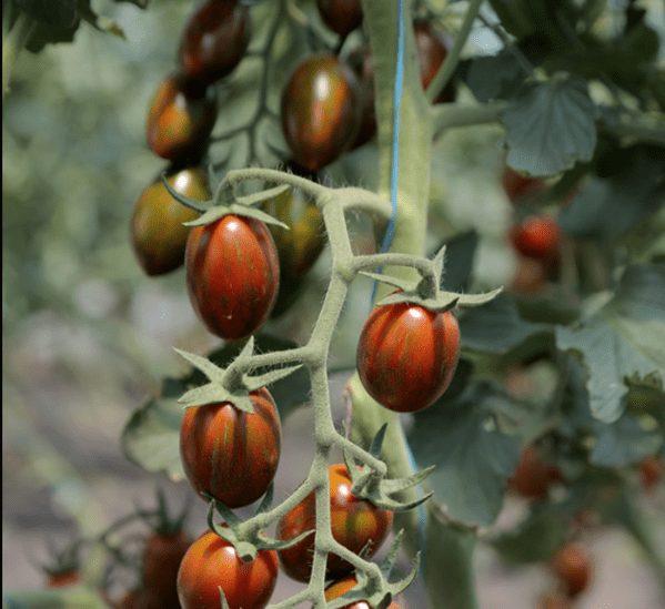 Крестина плюм сорта помидор