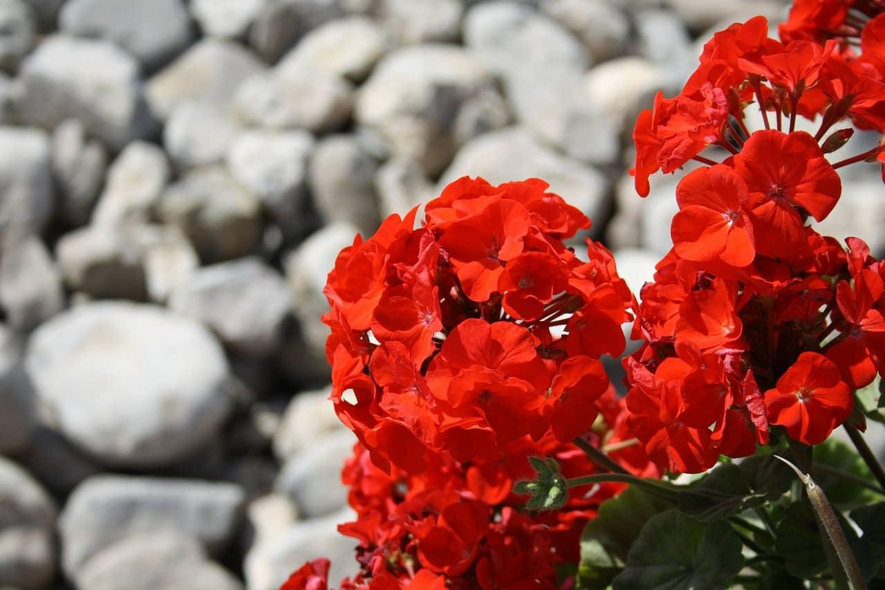 Фото цветущей герани