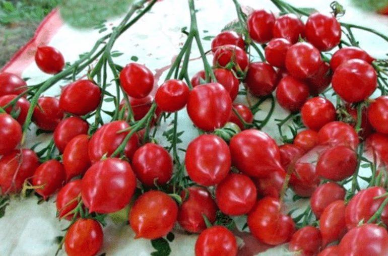 Плоды томатов поцелуй герани