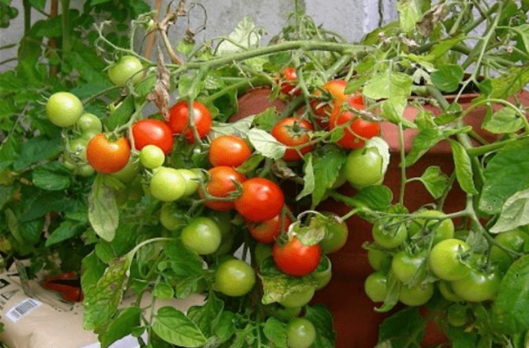 как выглядят помидоры поцелуй герани