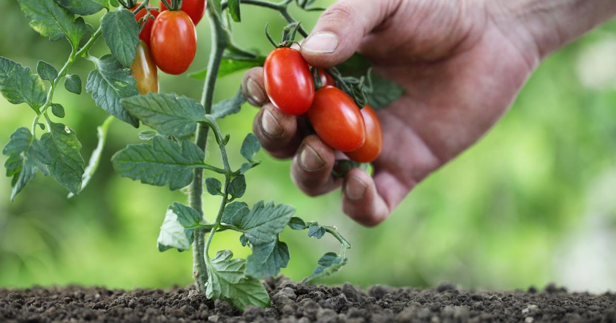 Фото низкорослого сорта томатов