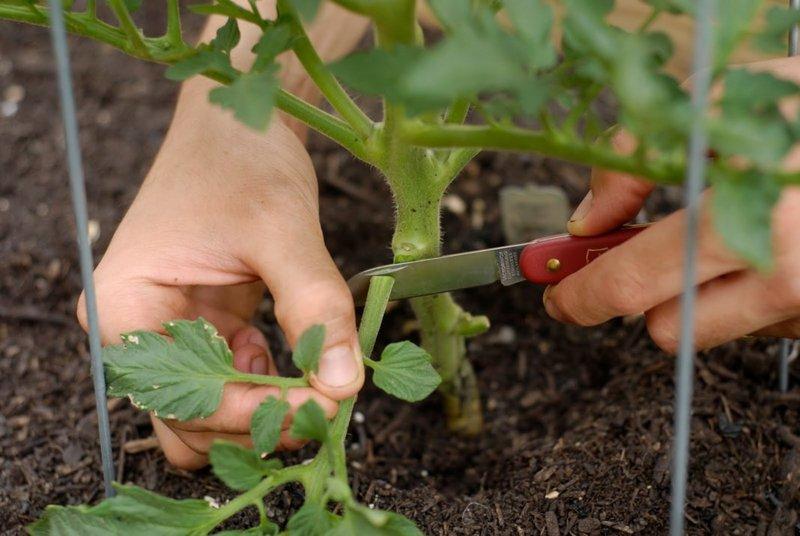 Фото обрезки листвы с кустов томата