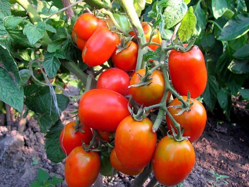 Фото зрелых плодов